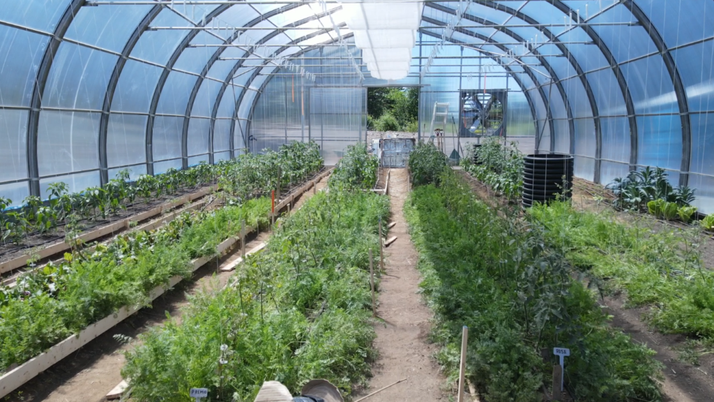 A greenhouse with rows of green plants growing